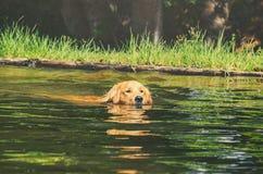 弄湿金毛猎犬在湖的水的狗游泳 免版税库存照片