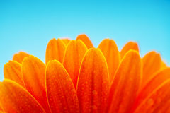 弄湿雏菊花,宏观射击的橙色瓣 库存照片