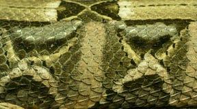 弄湿非洲人Gaboon蛇蝎(细节) 免版税库存照片