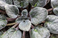 弄湿非洲紫罗兰叶子  免版税库存照片