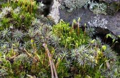 弄湿绿色青苔Polytrichum公社,共同的haircap,巨大金黄maidenhair 花卉背景宏指令特写镜头 微观植物 免版税图库摄影