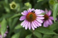 弄糟与在苍白紫色海胆亚目purpurea花的花粉幼儿报道的腿的蜂 免版税库存照片