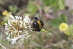 弄糟从花的蜜蜂饲养 免版税库存照片