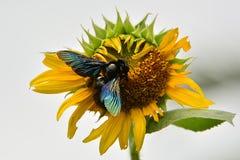 弄糟在一朵花的蜂花蜜的 免版税库存照片