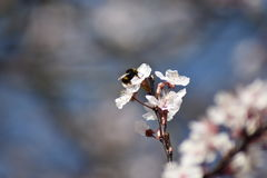 弄糟在春天开花的蜜蜂饲养 免版税库存照片