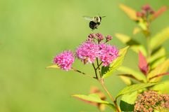 弄糟在桃红色花的蜂flys 免版税图库摄影