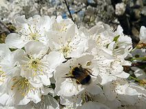 弄糟在樱桃树花的蜂 免版税图库摄影