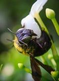 弄糟在淡紫色的蜂 免版税库存照片