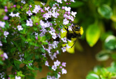 弄糟在爬行的百里香的蜂 免版税库存图片