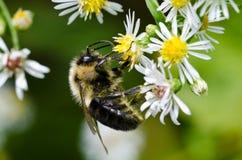 弄糟在空白和黄色花的蜂 免版税库存图片