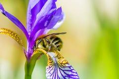 弄糟在花的蜂 免版税库存照片