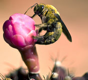 弄糟在花的蜂 库存照片