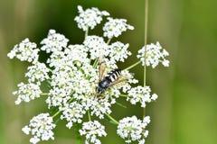 弄糟授粉在一棵白色兰草的蜂 免版税库存照片