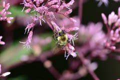 弄糟授粉在紫色kalanchoe的蜂 免版税图库摄影