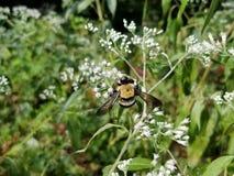 弄糟收获从白花的蜂花粉 免版税库存照片