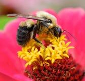 弄糟收集花粉从花,宏指令接近的蜂 图库摄影