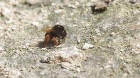 弄糟蜂消耗从土壤的矿物 影视素材