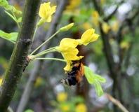 弄糟蜂从金合欢花收集花蜜 库存照片