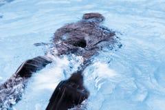 弄脏在游泳池的自由潜水训练 免版税库存照片
