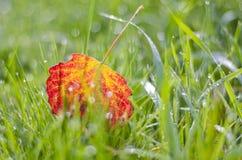 弄脏在满地露水的草的五颜六色的秋天白杨木树叶子 库存照片