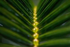 弄脏棕榈树叶子  免版税图库摄影