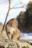 弄脏由河的美洲野猫 免版税库存图片