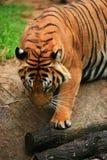弓国王马来亚老虎 免版税库存照片