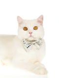 弓猫关系佩带的白色 库存照片