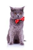 弓猫红色关系佩带 库存图片