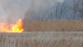 引人入胜烧由自然火火焰反对的消耗的干燥高沼泽草美好的场面  影视素材