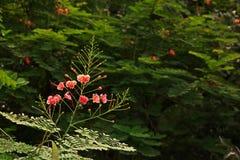 引人注目的巴巴多斯岛、poinciana或者孔雀花 免版税库存图片