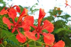 引人注目的巴巴多斯岛花 库存照片