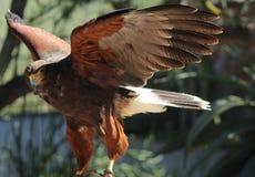 引诱的鹰 免版税图库摄影