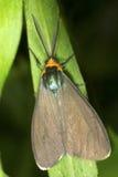 弗吉尼亚与精巧分开的天线的ctenucha飞蛾在Connectic 免版税库存图片