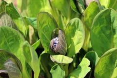 弗吉尼亚会开蓝色钟形花的草床 免版税库存图片