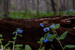 弗吉尼亚会开蓝色钟形花的草野花-俄亥俄 免版税库存图片