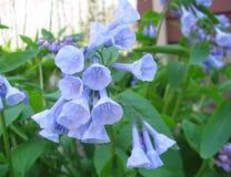 弗吉尼亚会开蓝色钟形花的草 免版税库存图片