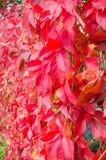 弗吉尼亚爬行物爬山虎属quinquefolia秋季叶子  免版税库存图片