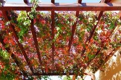 弗吉尼亚爬行物秋叶和莓果在荫径 库存图片