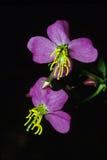 弗吉尼亚瑞克希阿属植物 库存图片