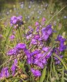 弗吉尼亚紫露草属与下落的紫鸭跖草virginiana在w以后 免版税图库摄影