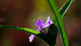 弗吉尼亚紫露草属类型花在早晨阳光下 图库摄影