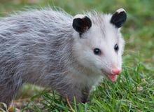 弗吉尼亚Oppossum 库存图片