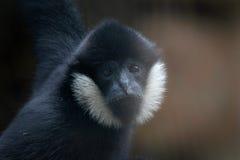 弗朗索瓦的叶猴 免版税库存图片
