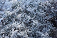 弗罗斯特和霜在云杉的分支 库存照片