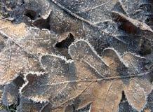 弗罗斯特在冬天早晨盖了在地面的橡树叶子 免版税库存照片