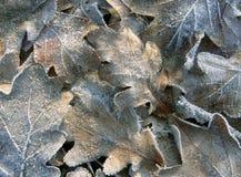 弗罗斯特在冬天早晨盖了在地面的橡树叶子 库存图片