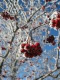 弗罗斯特在冬天盖了在一个分支的红色莓果 库存照片