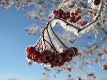 弗罗斯特在冬天盖了在一个分支的红色莓果 免版税库存图片