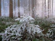 弗罗斯特在瑞士阿尔卑斯的森林里 库存图片